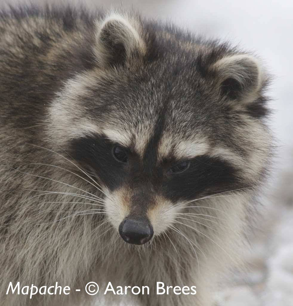 Mapache (Procyon lotor) - © Aaron Brees